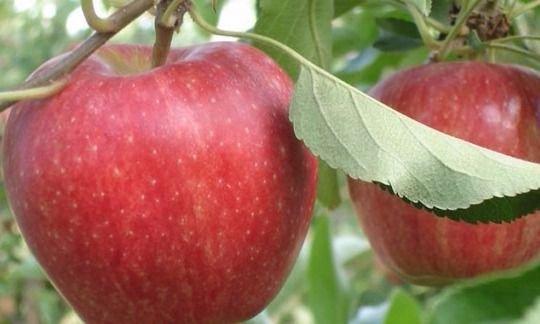 AFIP instrumentó un programa que alivia a productores frutícolas